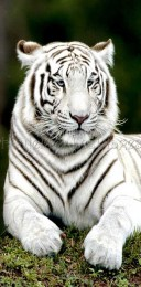 1361375880-tigre-blanc.jpg_product_product